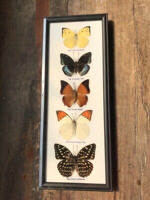 Real 5 Mix Butterfly Taxidermy Rare Frame Portrait Display Insect Decor Gift