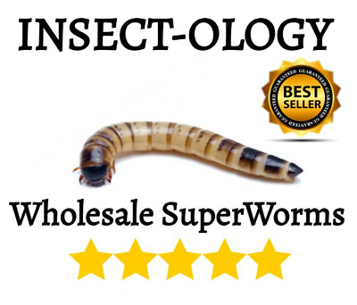 250 500 Live Superworms Super worms  Reptile Birds Feeder Insects Crickets Meal