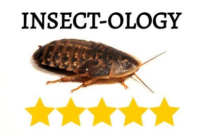 Dubia Roaches Multiple Quantities and Sizes 25 50 100 200 300 500 1000 XS S M L