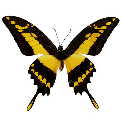 King Swallowtail Papilio thoas REAL Butterfly FAST FROM USA! Lepidoptera Insect