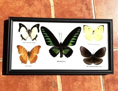 Real 5 Butterflies Taxidermy Mounted Wood Frame BROOKIANA Gift Collectibles