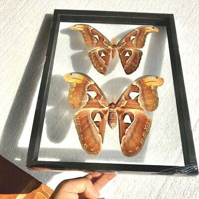Real 2 Butterfly Taxidermy Beautiful Luxury Style 2 Sided Glass Frame Display