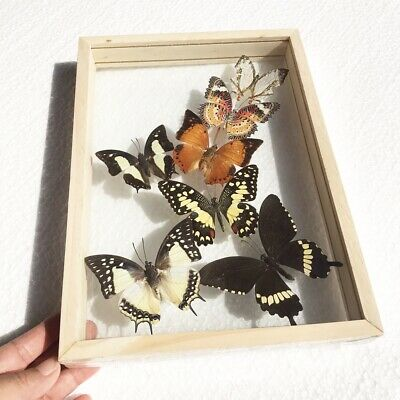 Real 7 Butterfly Taxidermy Style 2 Sided Acrylic Frame Display Beautiful Luxury