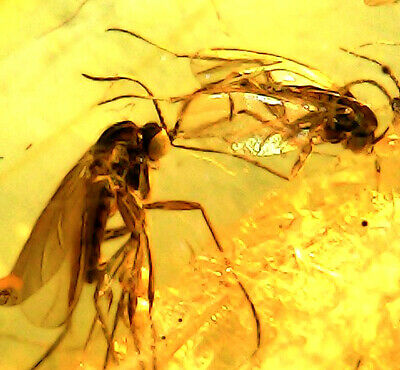 GENUINE FOSSILISED INSECTS IN AMBER circa 44 million BC