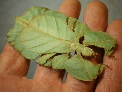 insect full data species 3 1/2 + inches  A 1 premounted for easy handling leaf
