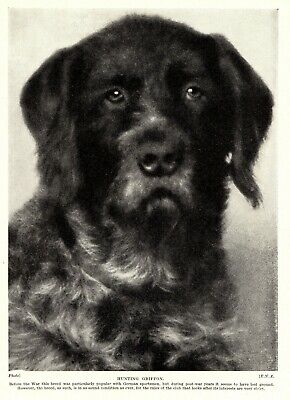 1930s Antique GERMAN WIREHAIRED Pointing Griffon Dog Print  3408-G