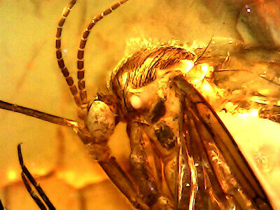 GENUINE FOSSILISED INSECTS IN AMBER circa 44 million BC - stunning detail