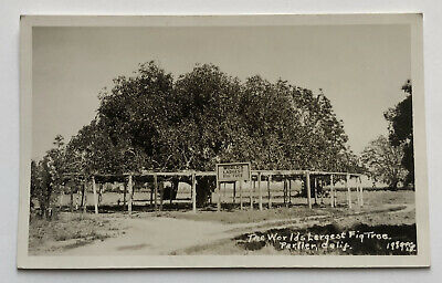 PARLIER, CALIFORNIA The World's Largest Fig Tree RPPC Real Photo Postcard;J577