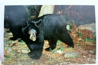 Great Smoky Mountains National Park Native Black Bear Postcard Old Vintage Card