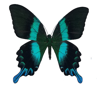 Papilio blumei Green Swallowtail Real Butterfly Lepidoptera Art SHIPS FROM USA!