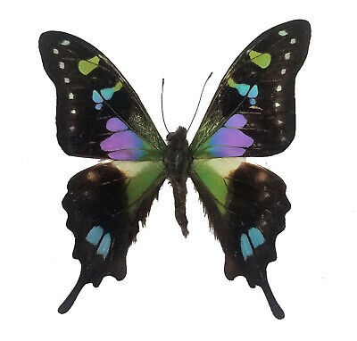 ONE REAL BUTTERFLY YELLOW GREEN GRAPHIUM TYNDAREUS RCA UNMOUNTED WINGS CLOSED