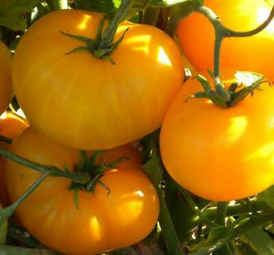 tomate//tomato 20 graines//seeds//semillas Orange Russian 117
