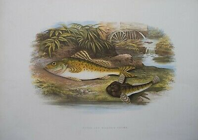 PIKE antique engraving print Houghton 1879 British fishes fish fishing artposter