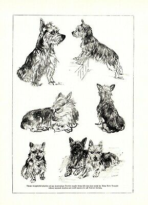 1930s Antique Australian Terrier Dog Art Print Vere Temple Dog Art 3603-N