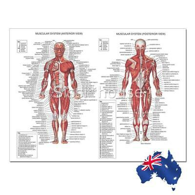 70X50CM Human Body Muscle Anatomy System Anatomical Chart Educational Poster