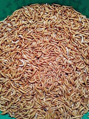 *250 500 1200*  ORGANICALLY RAISED MEDIUM/LARGE MEALWORMS free shipping