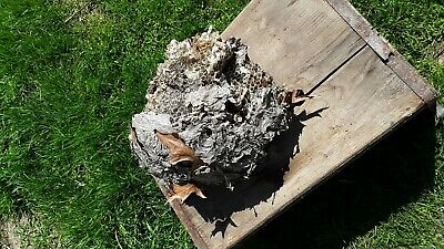 Hornet's Bee Nest Paper Wasp On Branches Science Project Classroom Taxidermy 9""