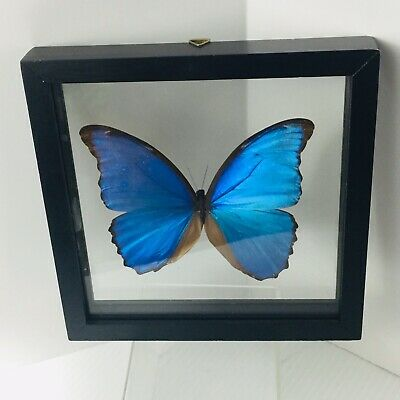 Huge Blue Butterfly Morpho Didius In Double Sided Glass Wall Hanging Frame