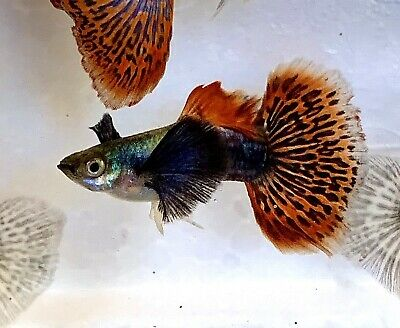 1 Pair Of Red Mosaic Dumbo Ear Guppies Imported From Thailand