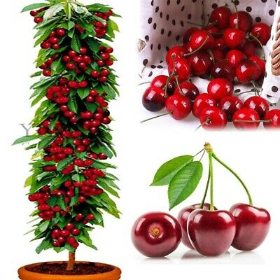 Cherry Seeds Organic Seeds Fruit Seeds Bonsai Tree High Home Garden Seeds 10pcs.