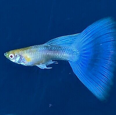 1 Pair of Albino Blue Tail Guppies Imported Directly From Thailand