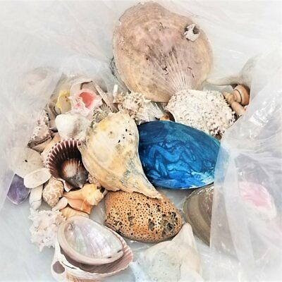 Assorted Lot of Seashells in USPS Large Flat Rate Box