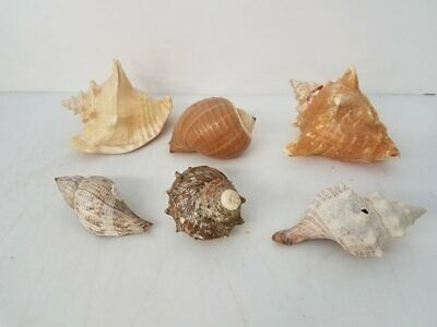 Seashell Lot Large Conches Beach Home Décor