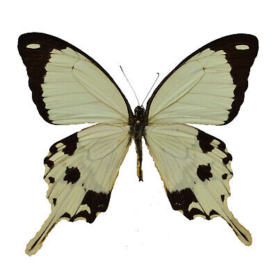 REAL Papilio dardanus FLYING HANDKERCHIEF BUTTERFLY, Unmounted Swallowtail