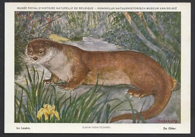 Otter  (Lutra lutra)  Vintage belgium post card