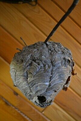 BIG Stunning Real Paper Wasp Bee Nest Hive Taxidermy Hobby School Projects Decor