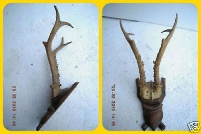 * reh roe deer antlers corzo chevreuil capriolo