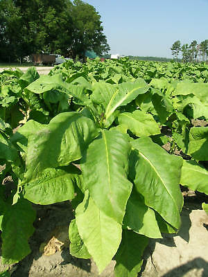 1,000 Virginia Tobacco Heirloom Seeds