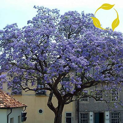PRINCESS TREE Paulownia Tomentosa - 100+ SEEDS. Free S&H