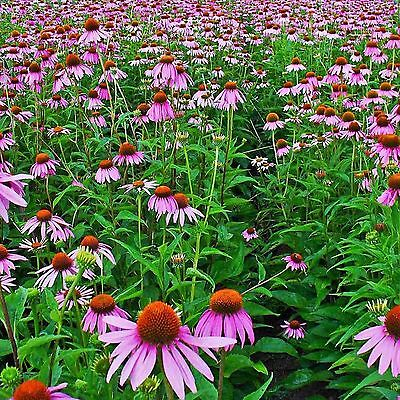PURPLE CONEFLOWER Echinacea Rudbeckia Purpurea - 50+ SEEDS