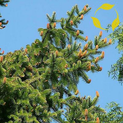 NORWAY SPRUCE Picea Abies - 30+ SEEDS