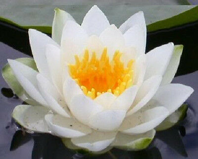 10 WHITE LOTUS Nymphaea Ampla Asian Water Lily Pad Flower Pond Seeds *CombS/H