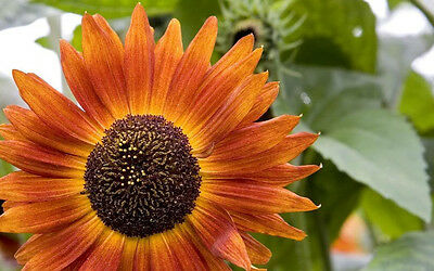 25 INDIAN BLANKET SUNFLOWER Helianthus Annuus Flower Seeds + Gift & Comb S/H