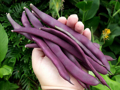 "Bean PURPLE KING 20 Seeds ""Climbing"" (HEIRLOOM) Vegetable"