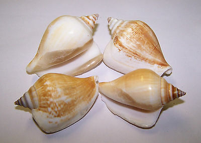 Dog Conch Shells - Seashells - Craft Shells - Aquarium Decoration