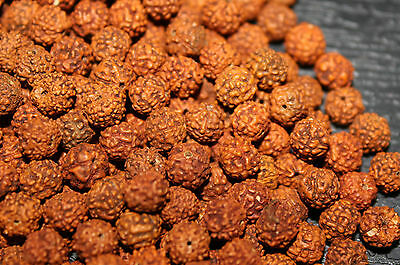 Loose Rudraksha Rudraksh 8 MM Beads Hindu Yoga Meditation Wholesale JAPA