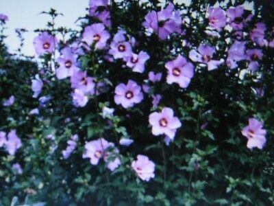 Rose Of Sharon Seeds *  Showy * 5 Seeds *