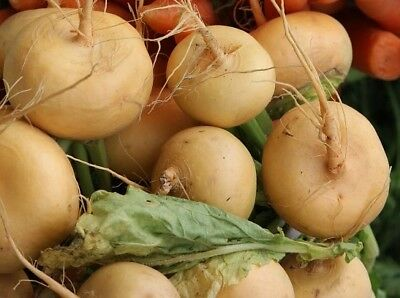 TURNIP 'Goldball' 200 seeds vegetable garden winter veggie sweet fast growing