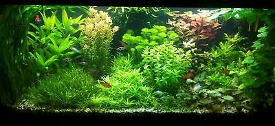 10 BUNCHED & WEIGHTED aquarium live plants tropical coldwater fish tank
