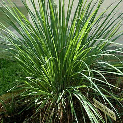 Lemongrass 15 Seeds Medicinal Herb (HEIRLOOM) Herb Lemon Grass