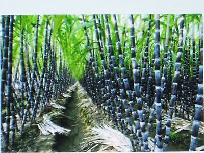 Sugar Cane Seeds * Rum * Syrup * Rock Candy * Sugar Crystals * 6-18 Feet Tall *