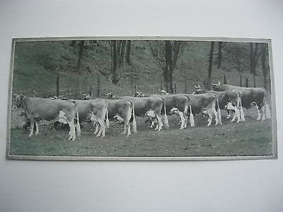 """VINTAGE 1920's SMALL  8"""" by 3 5/8"""" COWS CATTLE CALENDAR SAMPLE PRINT LITHO #78"""