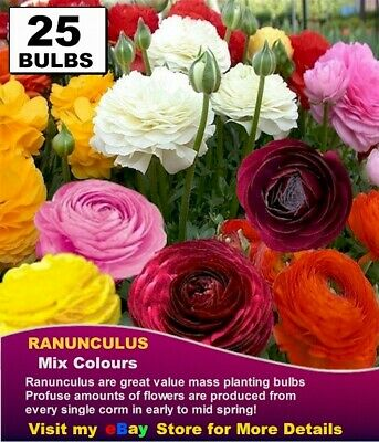 RANUNCULUS BULBS - MIXED COLOURS 20 x Bulbs