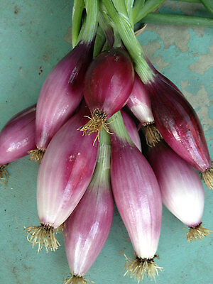 Onion RED OF FLORENCE 100 Seeds (HEIRLOOM) Vegetables Very Rare