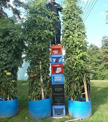 Tomato Tree * Tallest * Largest * Heavy Yield * Easy Pickin !