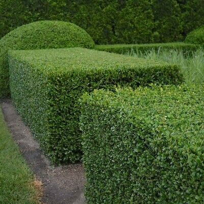 BOXWOOD Buxus Sempervirens 10,20,40 SEEDS